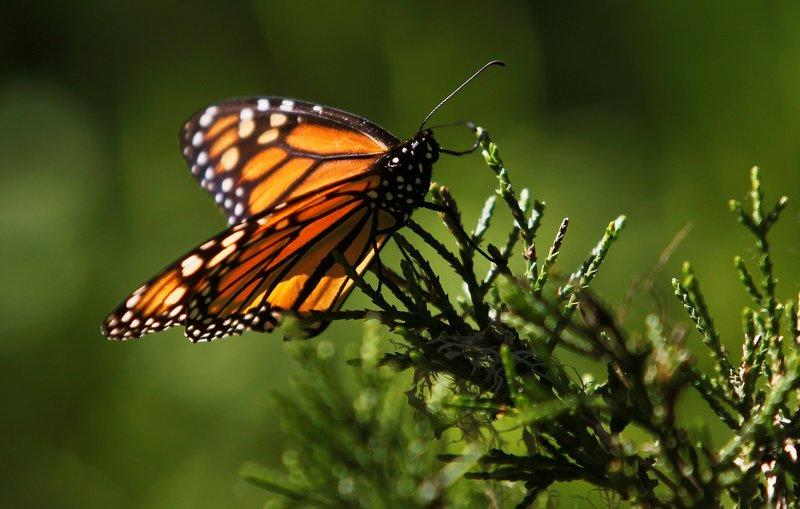 FILE PHOTO: A monarch butterfly clings to a plant at the Monarch Grove Sanctuary in Pacific Grove, California, December 30, 2014. REUTERS/Michael Fiala/File Photo