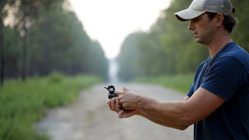 Wildlife biologist Gabe Pinkston prepares to release a red-cockaded woodpecker back to a long leaf pine forest after collecting data on it at Fort Bragg in North Carolina. Image credit: AP