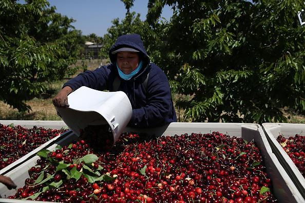 A worker dumps a bucket of freshly picked cherries into a bin in Acampo, California. Adverse weather conditions over several months leading up to California's cherry harvest has damaged much of the state's crop. According to the California Cherry Board, overall cherry production could be down more than 60%. (Photo by Justin Sullivan/Getty Images)