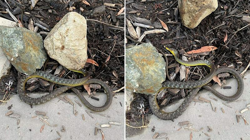 The snake is seen with the rock on its head and without.