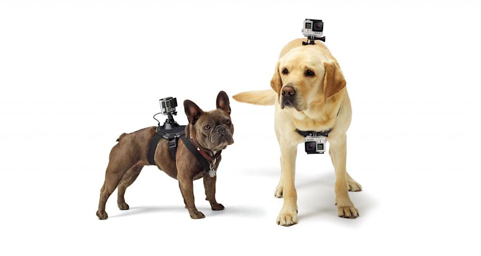 Dogs wearing GoPros.
