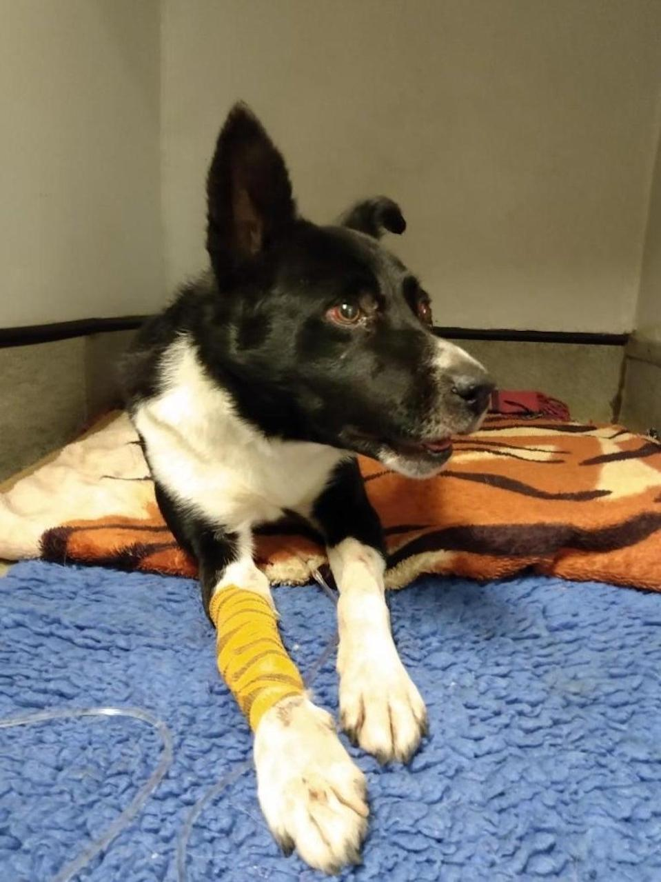 <p>Jake, the border collie, was found in a comatosed state</p> (PA)