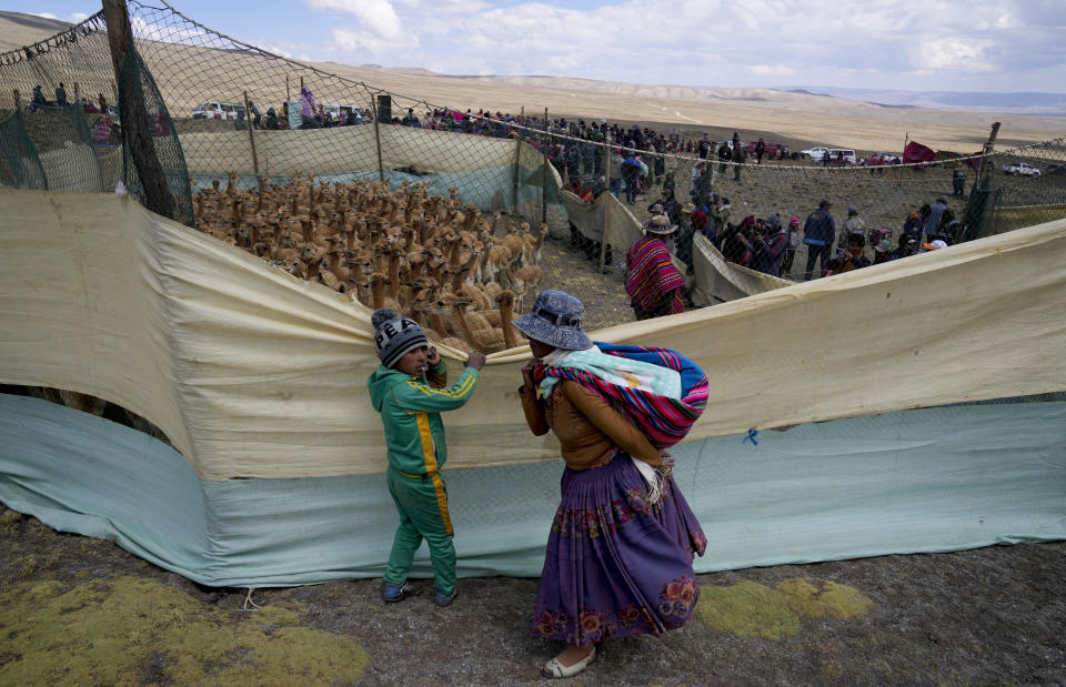 An Aymara Indigenous woman and her son watch wild vicuña being herded into a temporary corral to shear their wool, inside the Apolobamba protected natural area near the Andean village of Puyo Puyo, Bolivia, Sunday, Sept. 26, 2021. Once over-hunted and on the brink of extinction, vicuñas nowadays are protected in Bolivia, where Aymara shear and release the animals to use the hair to make clothing. (AP Photo/Juan Karita)
