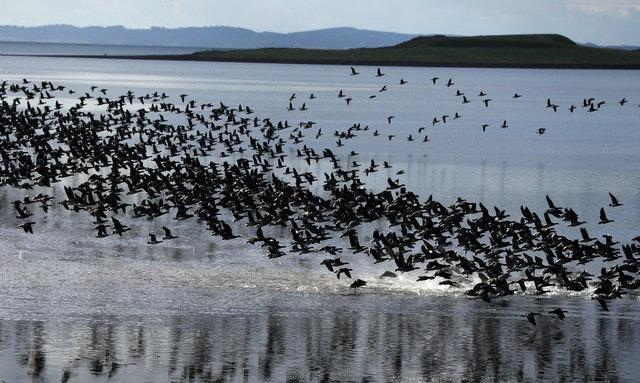 Annual count of Canadian Brent Geese at Strangford Lough