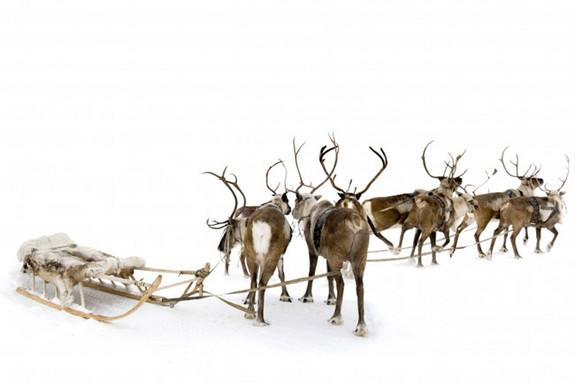Reindeer, which aren't usually known to fly.