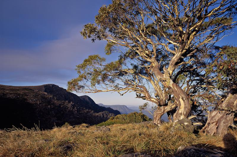 A stumpy alpine gum tree to the right against the blue skies of the Victorian alpine range.
