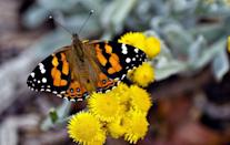 <p><strong>Pulelehua (Kamehameha butterfly)</strong><br><br>This unique-looking insect is native to Hawaii. </p>