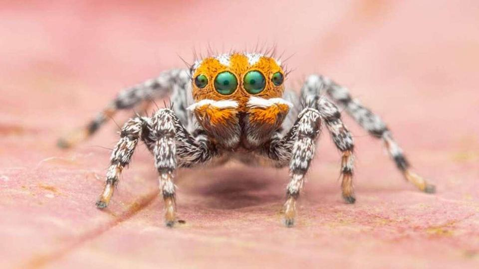 Maratus nemo spider (Museums Victoria, photo by Joseph Schubert)