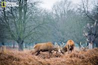 "On a Monday morning, I visited Richmond Park in London, where I witnessed the spectacular roaring, barking and clashing of antlers between rival stags in an effort to attract hinds. It makes me wonder how different yet similar they are to us, the human beings, to achieve the same purpose. (Photo and caption Courtesy Venus Loi / National Geographic Your Shot) <br> <br> <a href=""http://ngm.nationalgeographic.com/your-shot/weekly-wrapper"" rel=""nofollow noopener"" target=""_blank"" data-ylk=""slk:Click here"" class=""link rapid-noclick-resp"">Click here</a> for more photos from National Geographic Your Shot."