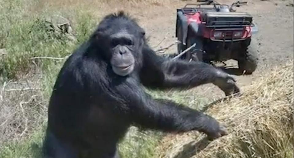 Pet chimpanzee named Buck who was shot by police.