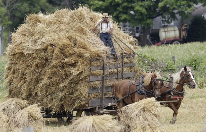 FILE - In this July 15, 2011 file photo, an Amish man rides on top of a hay wagon near Middlefield, Ohio. Jefferson County, Ohio Sheriff Fred Abdalla says men and sometimes women from a group of families disavowed by mainstream Amish have terrorized a half-dozen or more fellow Amish, cutting off their hair and beards. Abdalla said Thursday, Oct. 6, 2011 that his deputies have been hampered by the reluctance of Amish to press charges.  (AP Photo/Tony Dejak, File)