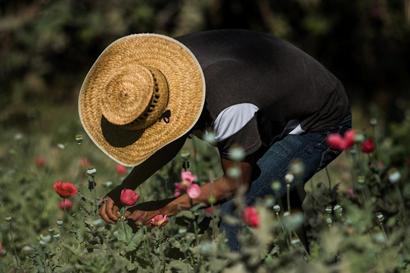 A farmer works in a poppy field in the state of Guerrero, Mexico on January 25, 2016. Mexico is being whipped by a drug cartels war (AFP Photo/Pedro Pardo)