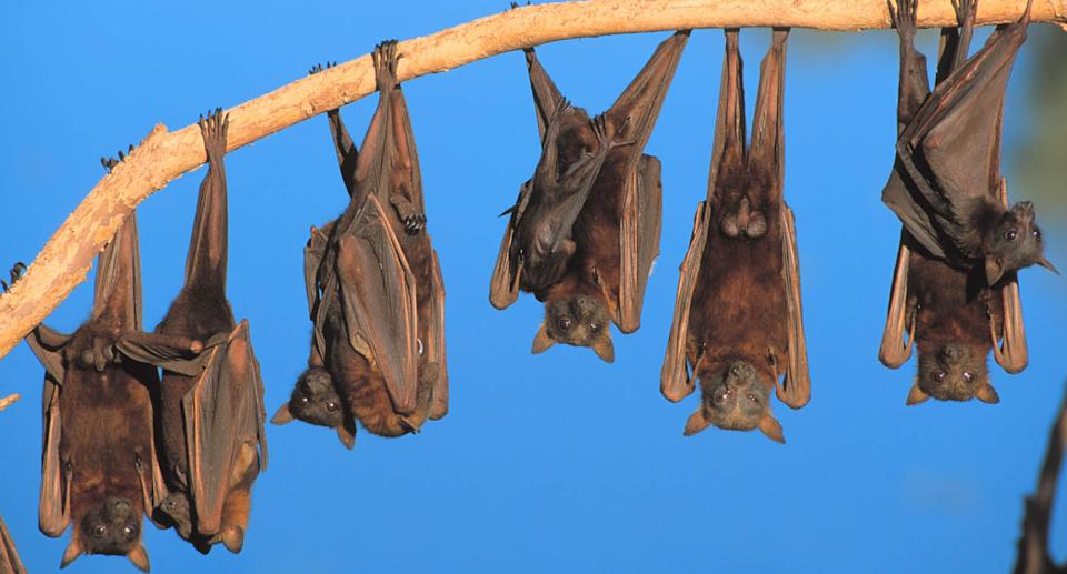 Flying foxes are pictured hanging from a tree branch.