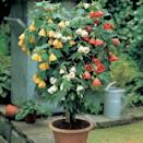 <p>You can plant multiple pots with this <span>Flowering Maple</span> ($9) seed pack. It does best in spring, summer, and autumn, but can also be planted in the winter.</p>