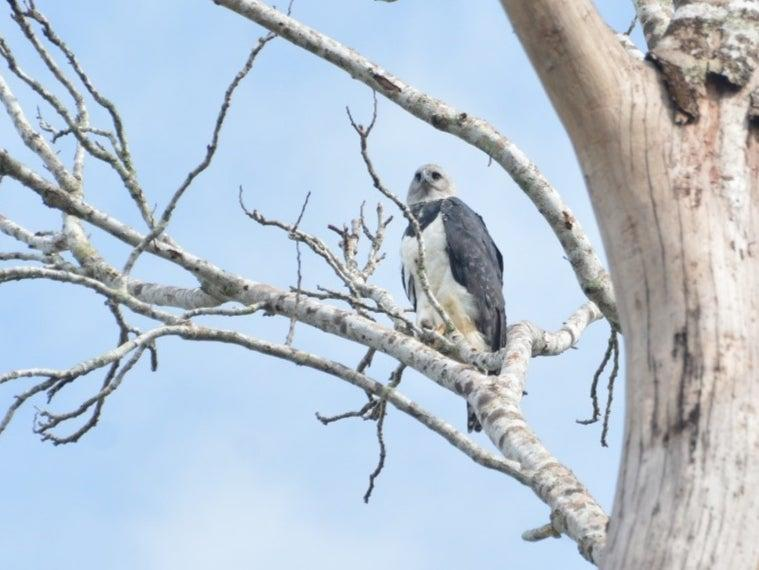 Deforestation threatens the survival of harpy eagles, which are found in the Brazilian Amazon (Lailson Marques)