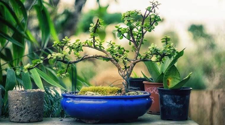 houseplants, plants, indoor air pollution, combat pollution, go green, bamboo palm, boston fern, areca palm, aloe vera, indoor plants, indian express, indian express news