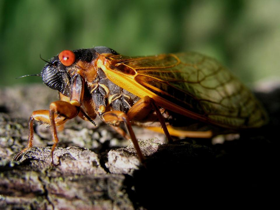 A Cicada photographed at Westwood Park Reservoir in Henry Co. Magicicada Brood X.