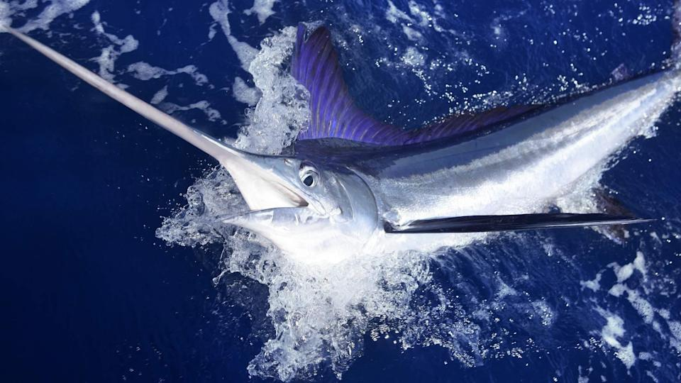 Captain Dies After Being Impaled By Swordfish