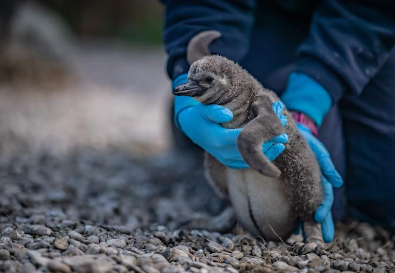 The penguins have been named after hospitals (Picture: Chester Zoo)