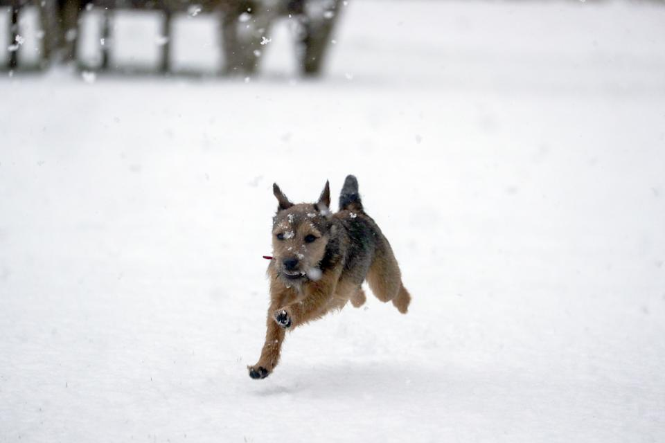 Winston, an 8 month old Border Terrier, enjoys the snow for the first time near Windsor, Berkshire. Picture date: Sunday January 24, 2021. (Photo by Steve Parsons/PA Images via Getty Images)
