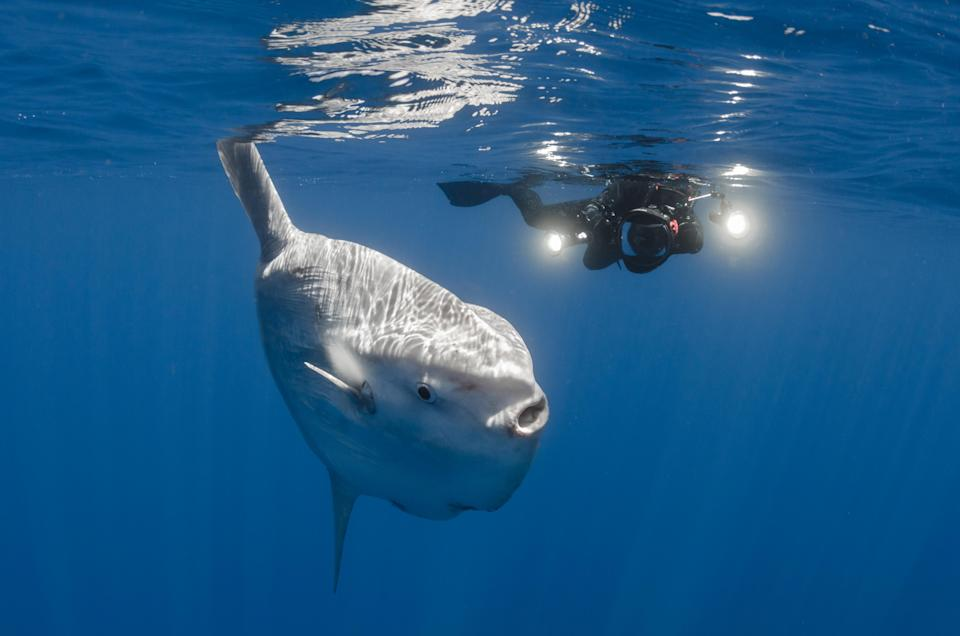 A huge sunfish miles off coast of San Diego, California. Source: Getty Images (file pic)