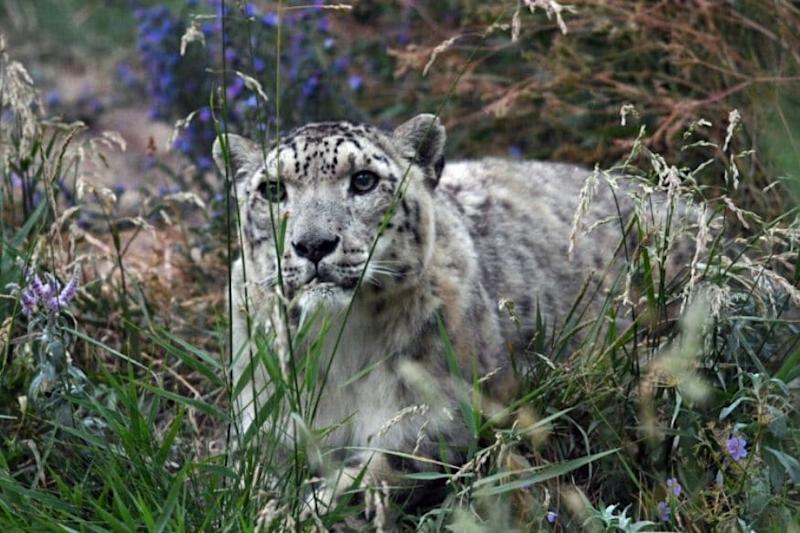 This is What Indian Officials Did After Finding a Rare Snow Leopard in Himachal Pradesh