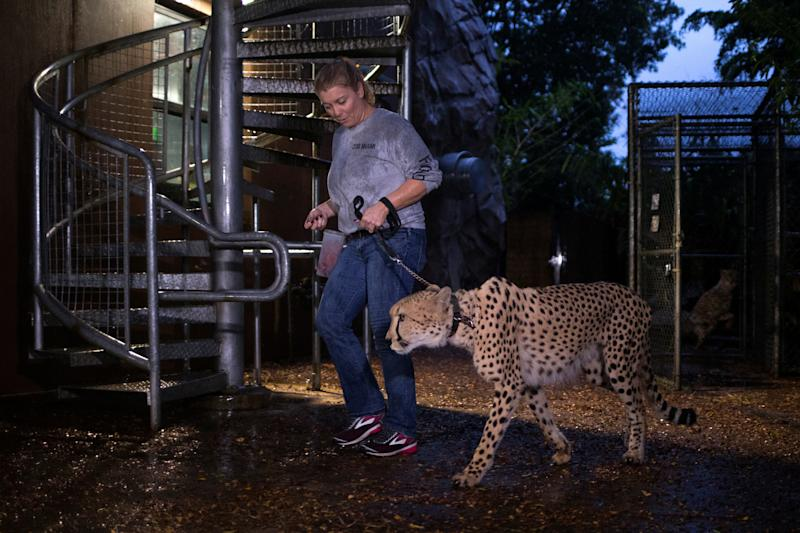 Senior keeper Jennifer Nelson walks a cheetah to a shelter ahead of Hurricane Irma. (Adrees Latif / Reuters)