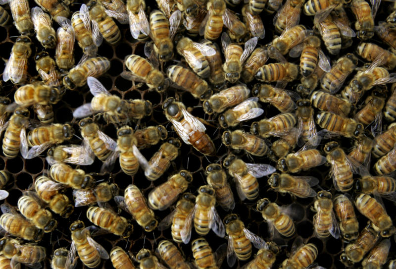 Feds: Many causes for dramatic bee disappearance