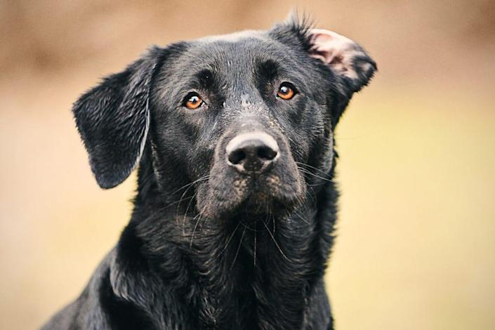 An adult black labrador.