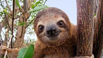 """<p>Well, not the cute little sloths of today. But the giant ground sloth, or the Megatherium, was the size of an elephant and roamed earth during the Ice Age. The creatures <a href=""""https://www.nhm.ac.uk/discover/what-was-megatherium.html"""" rel=""""nofollow noopener"""" target=""""_blank"""" data-ylk=""""slk:may have lived alongside humans, and been hunted by them"""" class=""""link rapid-noclick-resp"""">may have lived alongside humans, and been hunted by them</a>, according to the UK's Natural History Museum.<br></p>"""