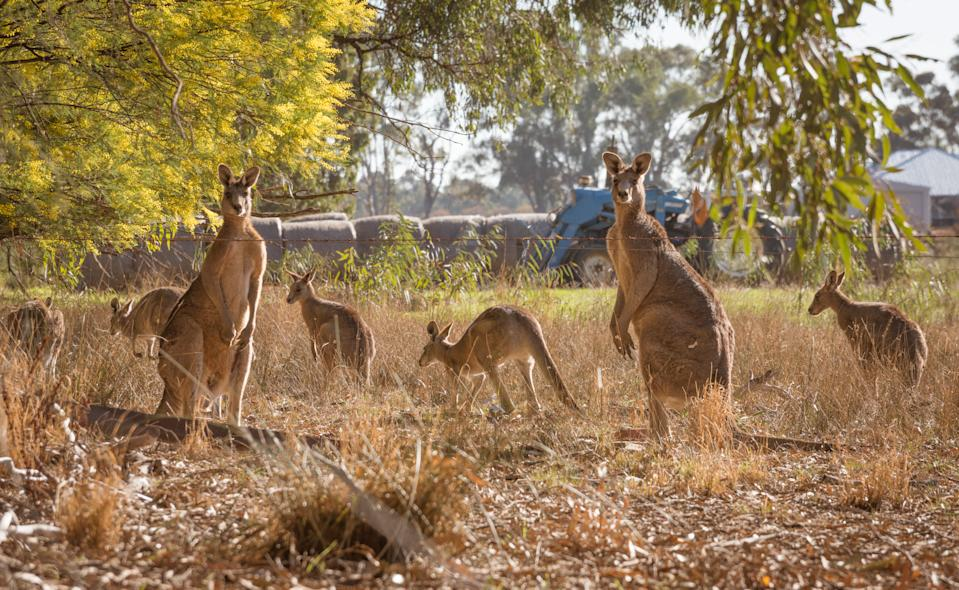 "POLL: Should Australia's ""over-abundant populations"" of kangaroos be culled?"