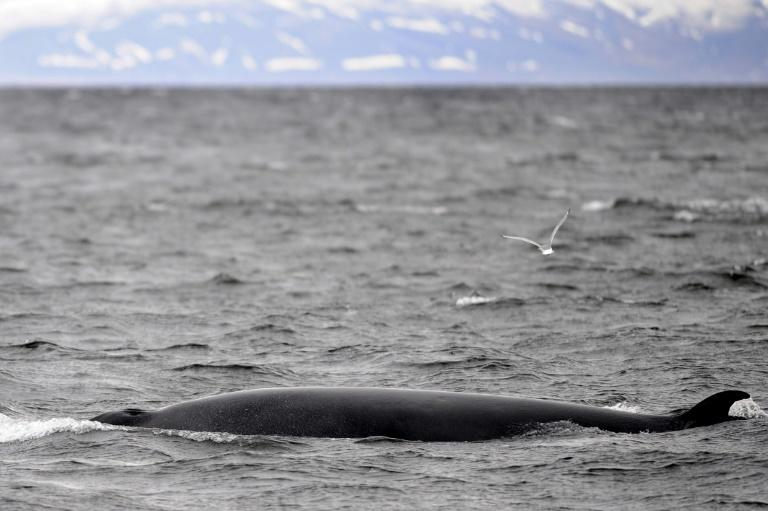 There will be no whaling off Iceland for the first tiem since the country resumed the controversial practice in 2003