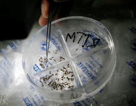 FILE PHOTO: A medical technician segregates species of mosquitoes inside the entomology department at the Research Institute for Tropical Medicine (RITM) in Alabang city, south of Manila September 1, 2009.  REUTERS/Romeo Ranoco/File Photo