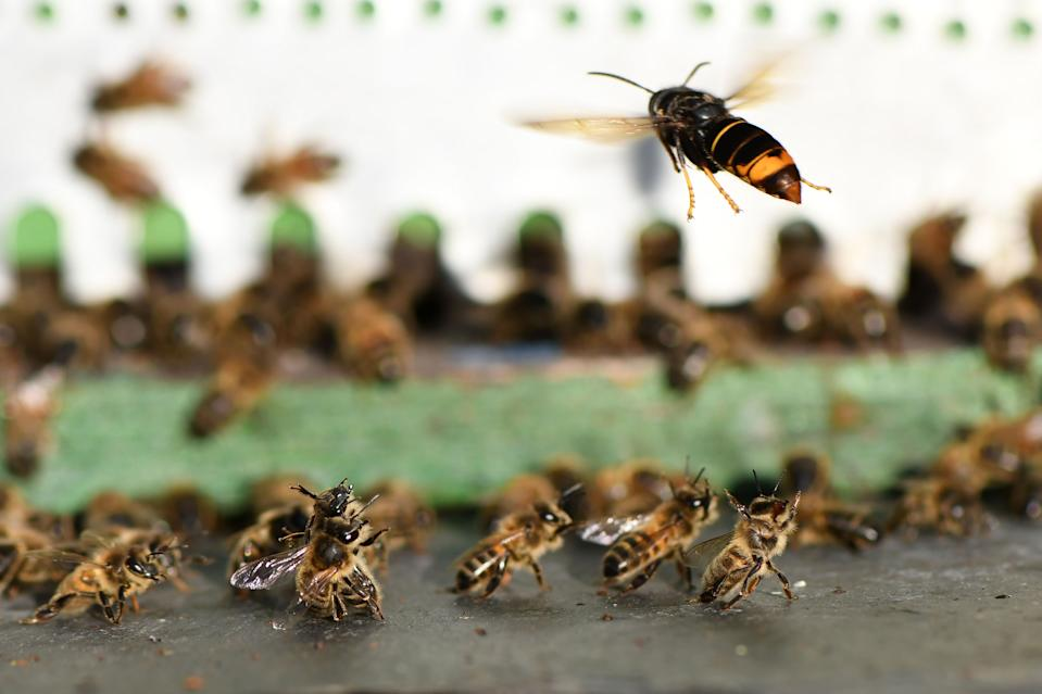 An Asian hornet chases bees near a beehive in northern France last September. (Getty)