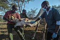 Nelson Kipchirchir, at right, a research associate and resident vet, draws blood from an artery in the neck of a female camel as she is held down by livestock handlers
