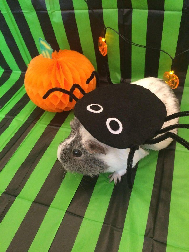 """<p><strong>CavyCostumes</strong></p><p>etsy.com</p><p><strong>$22.07</strong></p><p><a href=""""https://go.redirectingat.com?id=74968X1596630&url=https%3A%2F%2Fwww.etsy.com%2Flisting%2F561647789%2Fguinea-pig-costume-for-halloween-spider&sref=https%3A%2F%2Fwww.countryliving.com%2Flife%2Fkids-pets%2Fg36718902%2Fcostumes-for-guinea-pigs%2F"""" rel=""""nofollow noopener"""" target=""""_blank"""" data-ylk=""""slk:Shop Now"""" class=""""link rapid-noclick-resp"""">Shop Now</a></p><p>A simple costume made from felt and pipe cleaners will transform your guinea pig into a friendly spider. </p>"""