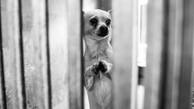 Photos of Chihuahua 'Praying to Be Loved' Inspires Adoption