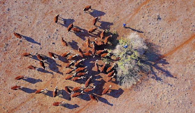 <p>Farmer Ash Whitney stands atop a tree as he cuts off branches to feed his cattle in a drought-affected paddock on his property west of the town of Gunnedah in New South Wales, Australia, June 3, 2018. (Photo: David Gray/Reuters) </p>