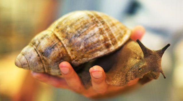 Adult giant African snails have a cone-shaped shell measuring up to 20 centimetres. Photo: Getty