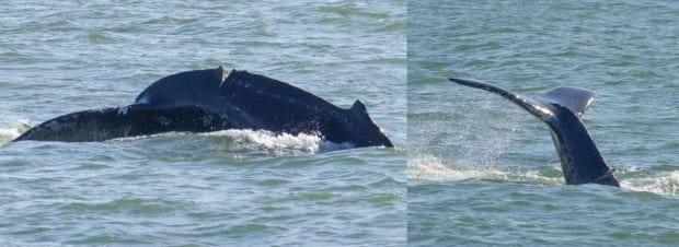 This humpback whale has an injury suspected to be from a ship strike. The whale has been seen in the waters off Vancouver's Point Grey neighbourhood since early April. (Vanessa Prigollini - image credit)