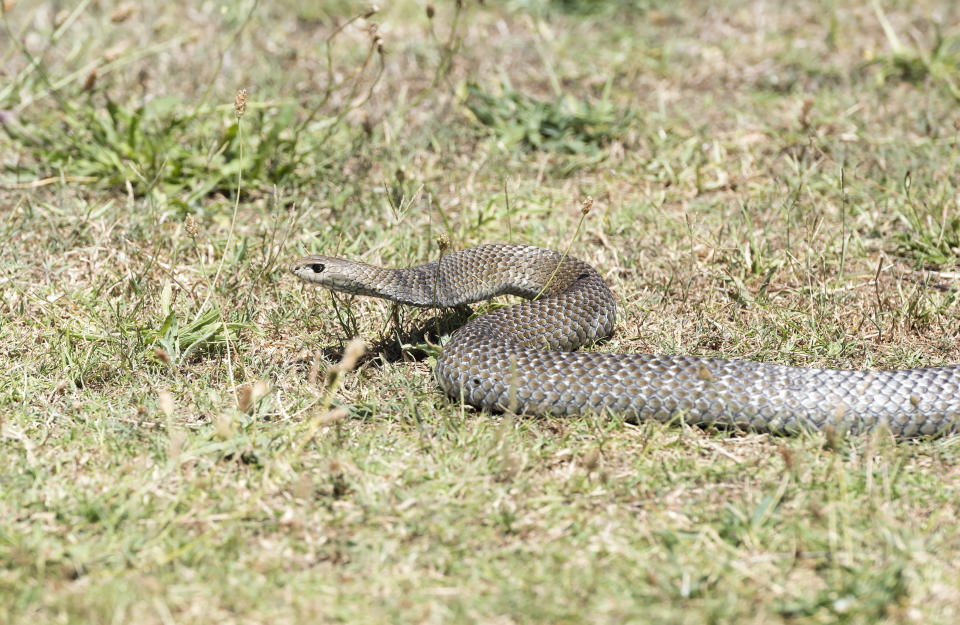Eastern brown snakes are venomous, but Andrew says they will generally leave people alone. Source: Getty Images, file