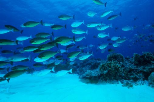 Shoal of Surgeonfishes, Naso hexacanthus, Tubbataha Reef, North Atoll, Sulu Sea, Philippines