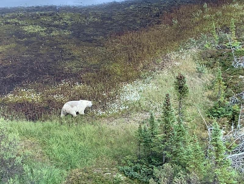 A polar bear is viewed from a Royal Canadian Mounted Police (RCMP) helicopter during a manhunt for Kam McLeod, 19, and Bryer Schmegelsky, 18 near Gillam, Manitoba, Canada July 27, 2019. Picture taken July 27, 2019. Manitoba RCMP/Handout via REUTERS. THIS IMAGE HAS BEEN SUPPLIED BY A THIRD PARTY.