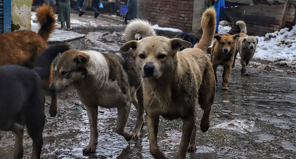 India is home to an estimated 35 million stray dogs. Source: Getty