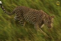 <p>A leopard walks past in the Okavango Delta, moving quietly through the grass. (Christine Lai/National Geographic Nature Photographer of the Year contest) </p>