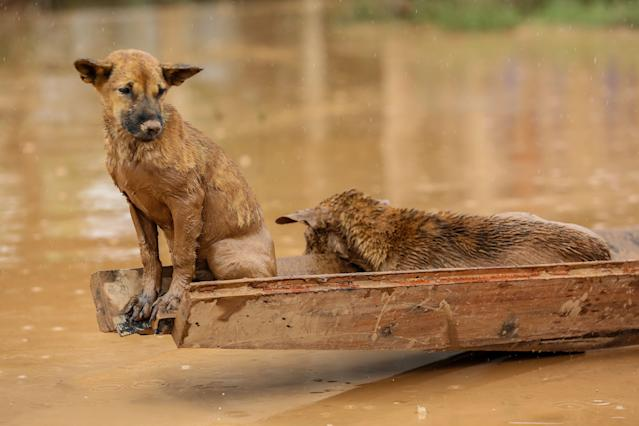 <p>Two dogs ride a small boat in the flooded areas in Sanamxai, Attapeu province, on July 26, 2018. (Photo: Kao Nguyen/AFP/Getty Images) </p>