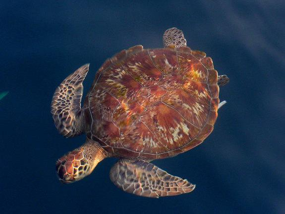 A loggerhead sea turtle swimming in the waters off the coast of Israel.