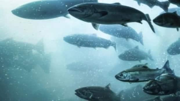 Researchers are hoping to get some answers where salmon go when they are far off the coast. (CBC - image credit)