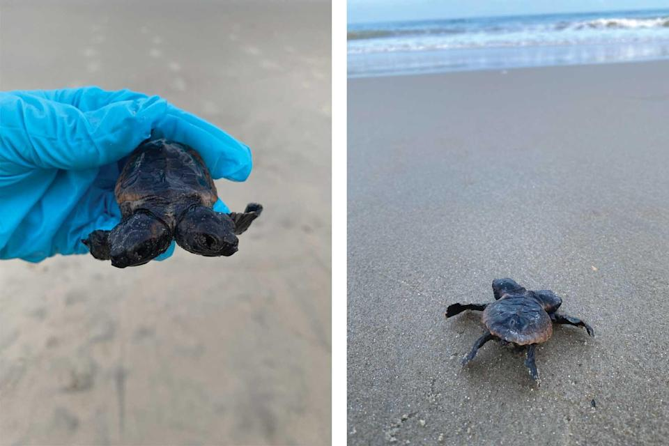 Two-headed turtle hatchling found in Cape Hatteras National Seashore
