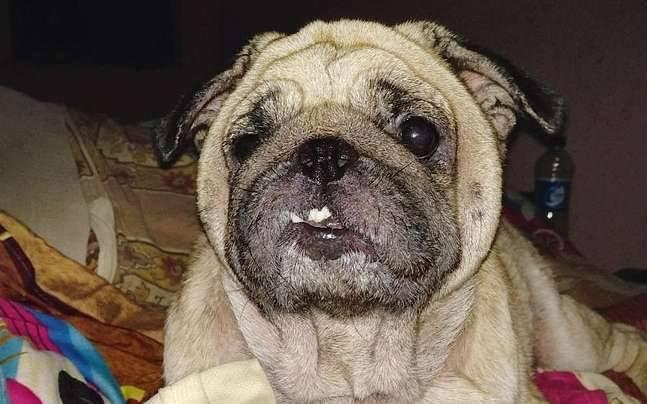 Delhi: Pugs become pet peeve for dog owners